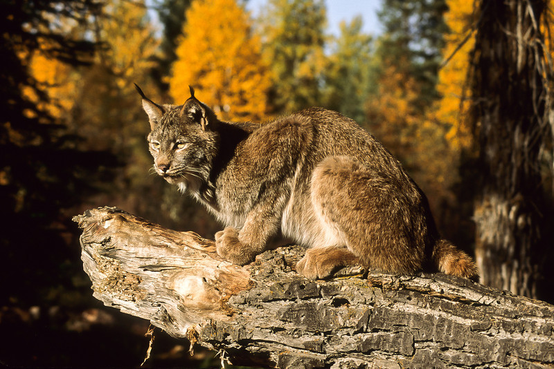 This beautiful cat just jumps off the page with its favorite log and fall background.  She is waiting patiently for a meal to enter the area.