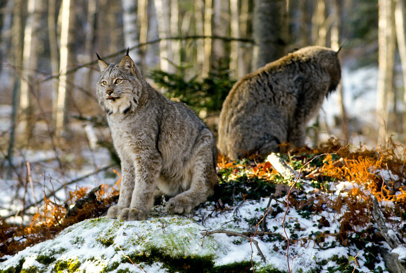 A canadian lynx couple seem to be having some difficulty with communication.  What did he do?  What did she do?