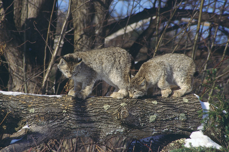 A pair of lynx kittens practicing their smelling techniques.  Soon they will be on their own and they must find their own food.