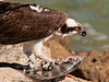 Osprey with sheepshead fish