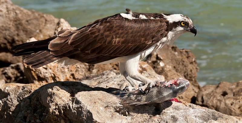 Osprey with sheepshead fish