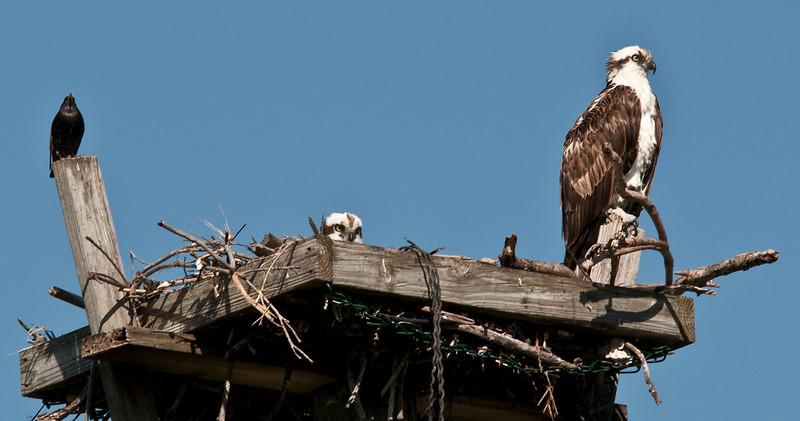 Osprey and blackbird on osprey nest