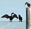 Captiva Island, FL 2013 Birds - Cormorant