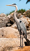 Great Blue Heron on the rocks