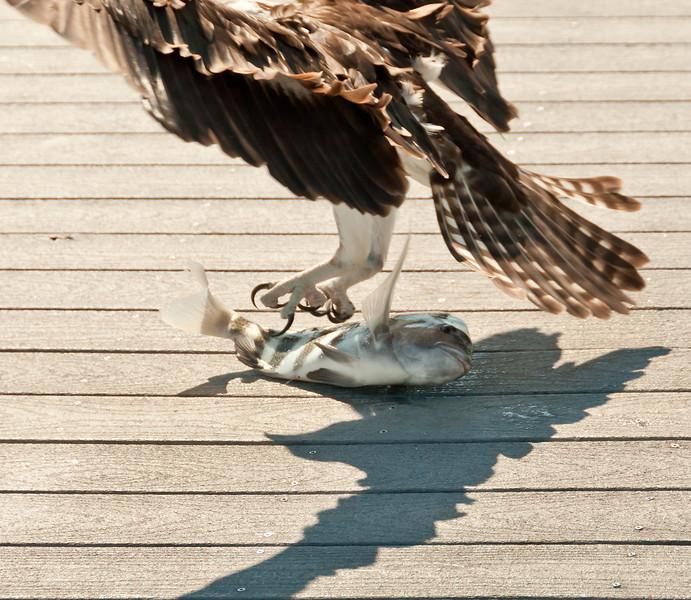 Osprey & sheepshead fish
