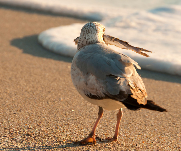 Gull with fish