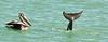 Dolphin & pelican in marina
