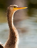 Female Anhinga