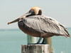Brown Pelican at a pier