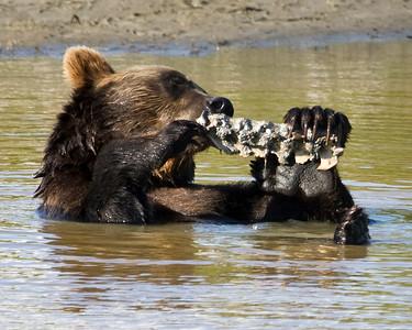 Grizzly Bear taking a Bath