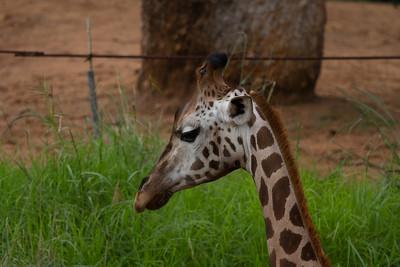 Giraffe - Perth Zoo, Western Australia