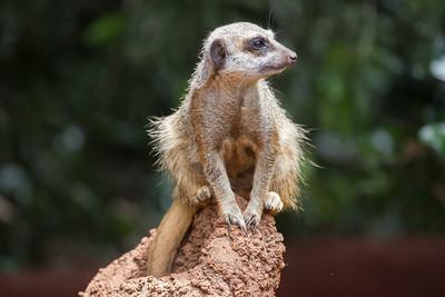Meerkat - Perth Zoo, Western Australia