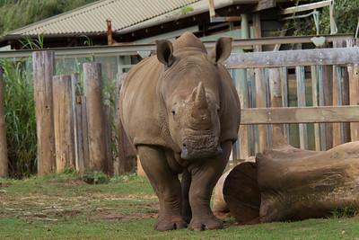 Rhinoceros - Perth Zoo, Western Australia