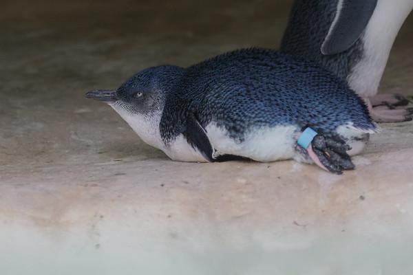 Little Penguin (Eudyptula minor) - Perth Zoo, Western Australia