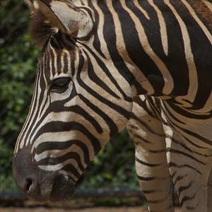 Zebra - Werribee Zoo, Victoria