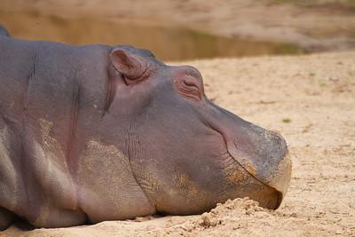 Hippopotamus - Werribee Zoo, Victoria