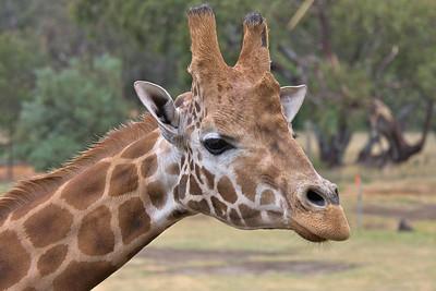 Giraffe - Werribee Zoo, Victoria