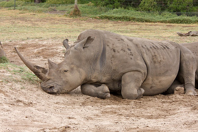 Rhinoceros - Werribee Zoo, Victoria