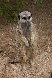 Meerkat - Werribee Zoo, Victoria