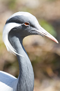 Demoiselle Crane (named by Queen Marie Antoinette)