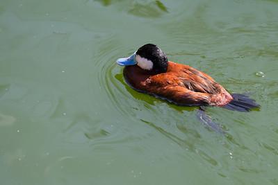 Argentine Ruddy Duck  (Oxyura Vittata),
