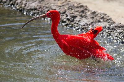 Scarlet Ibis  (Eudocinus ruber)