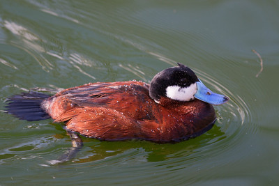 Argentine Ruddy Duck  (Oxyura Vittata), and I thought some Carolina fan just painted their bill.