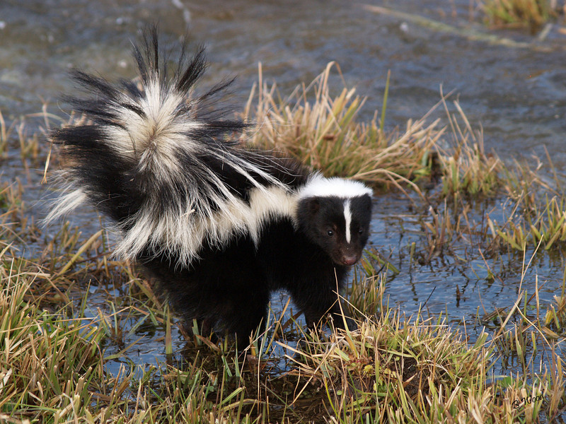 MM 07OC2359 Striped Skunk (Mephitis mephitis).  Photo taken in Madison Co., MT