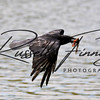 Carrion Crow russellfinneyphotography (12)