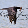 Carrion Crow russellfinneyphotography (15)