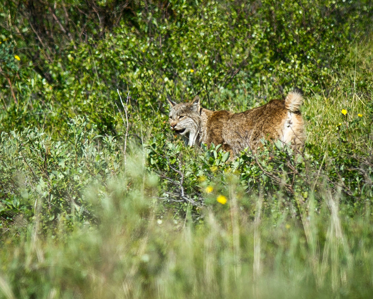 Lynx Denali National Park Denali, Alaska © 2011