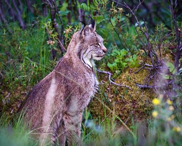 Canadian Lynx Denali National Park Alaska © 2011