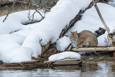 Bobcat of the Madison River Yellowstone National Park Wyoming © 2014