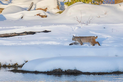 Bobcat On the Move Madison Yellowstone National Park, Wyoming © 2014