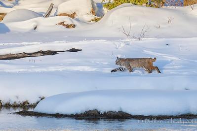 Bobcat On the Move Madison Yellowstone National Park, Wyoming © 2014