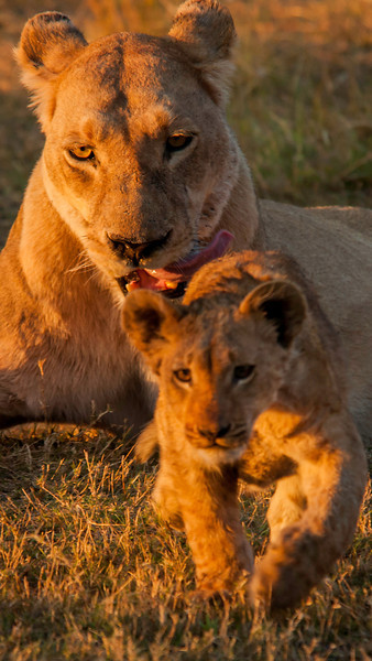 Africa 2012 Botswana Day 8 PM - Linyanti Area - Kings Pool Camp - Lion and cub