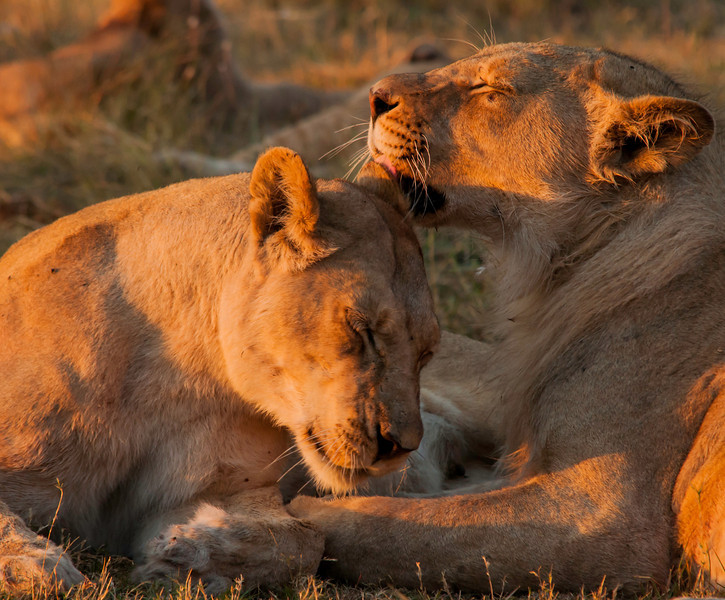 Africa 2012 Botswana Day 8 PM - Linyanti Area - Kings Pool Camp - Lioness loving adolescent son