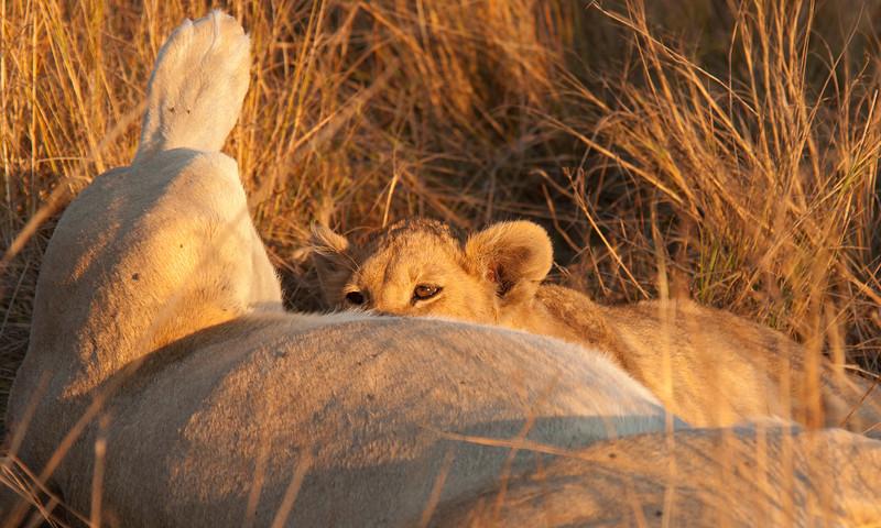 Africa 2012 Botswana Day 9 PM - Linyanti Area - Kings Pool Camp - Suckling cub