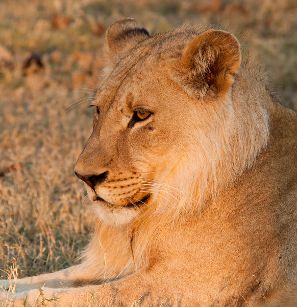 Coalition of five male lions at sunset