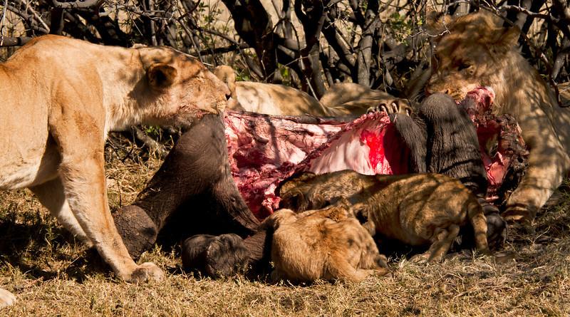 Romero's pride with a kill - baby elephant