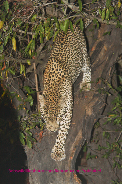 A second picture of the leopard in the tree.