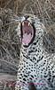 leopard yawning.