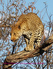 """""""A"""" Not sure what leopard sees, but it is probably something to eat"""