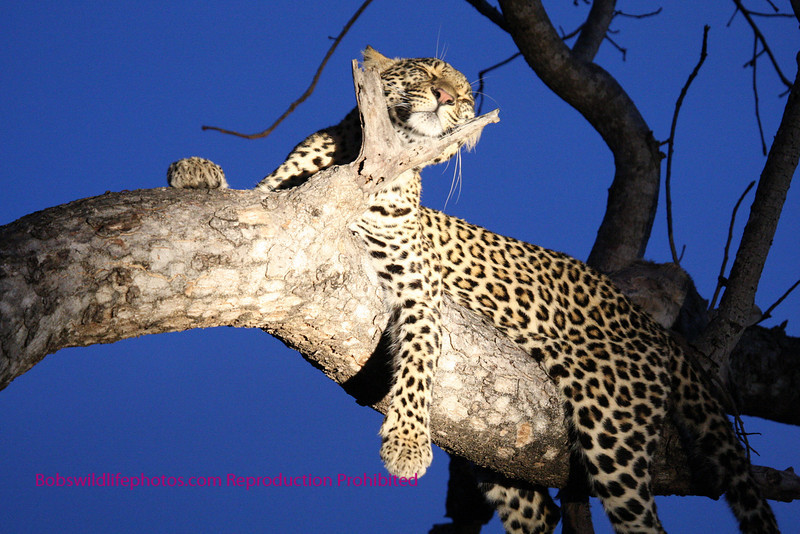 """""""S"""" This photo and the next several were taken as night was falling and a spot light shined on the cat. The use of the branch as a support makes a unique photo. If you look closely you can see the remains of an Impala in the tree."""