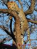 """""""A"""" Look at that leopard climb"""