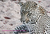 Leopard, winking?