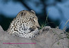 Another shot from on top of the termite mound. This is a young male leopard.