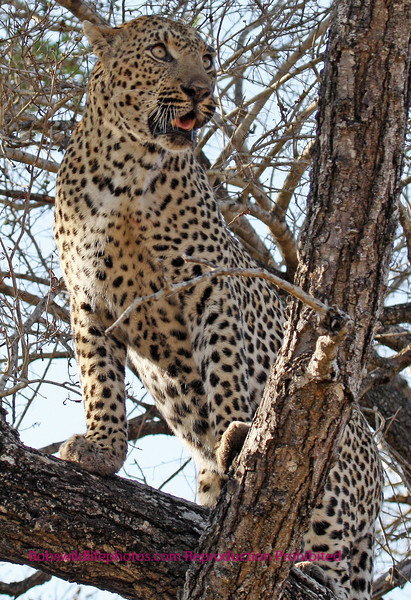 """""""S"""" Leopard looks for his next meal."""