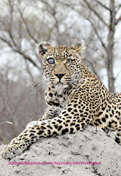 This leopard photo taken in Sabi Sands is of Safari she is believed to be 17 years old and lost the eye some time ago. It hasn't effected her ability to hunt or raise young.