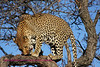 """""""A"""" Leopard lunch time in the trees"""